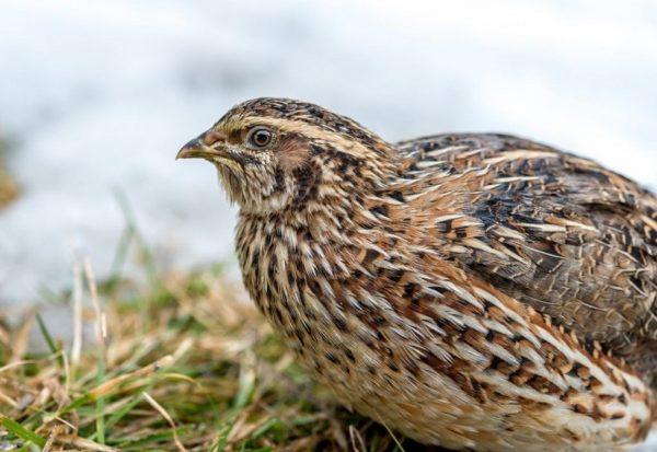 Перепел — привлекательная для разведения птица