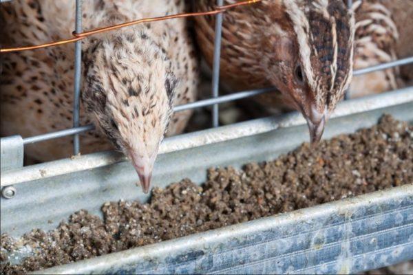 Новые корма перепелку переводят постепенно за 3–4 суток