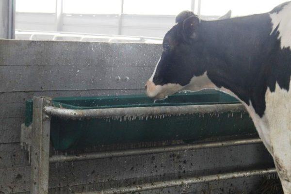 В емкость для воды должна помещаться пасть коровы