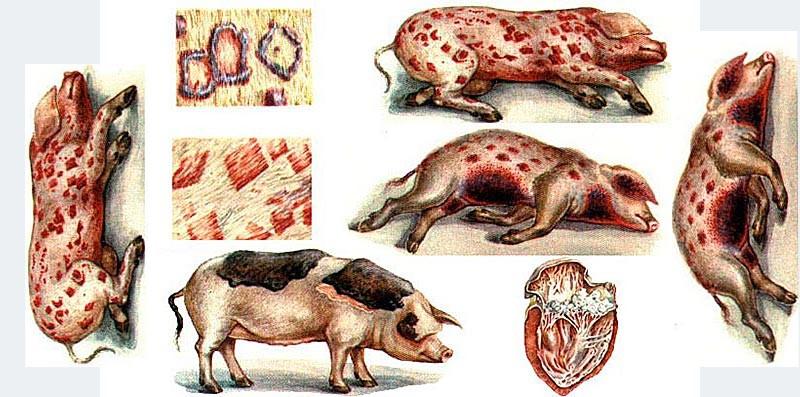 Рожа у свиней появляется в результате ослабления иммунной системы