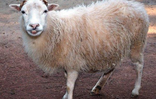 Кашель у овец чаще всего говорит о развитии пневмонии