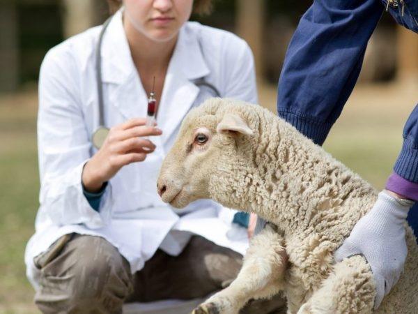 При работе с зараженными паразитами животными люди должны соблюдать осторожность