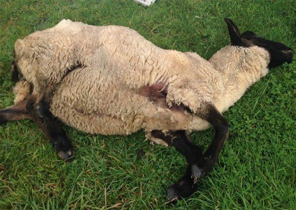 Листериоз часто вызывает массовую гибель овец