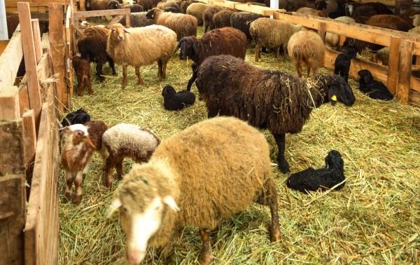 Легочный аденоматоз передается от одной овцы к остальным за считанные часы