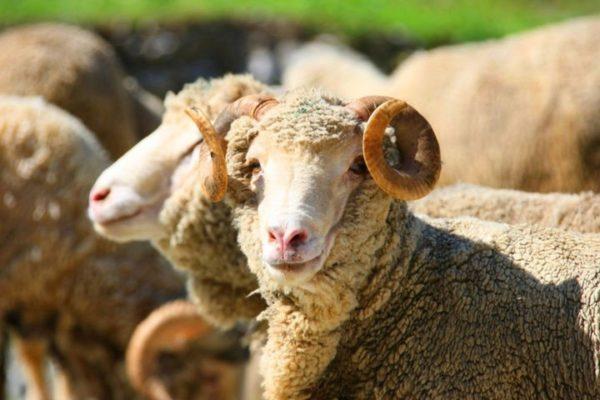 Бруцеллез в первую очередь поражает репродуктивные органы животных