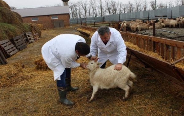 Назначать овцам лекарственные препараты может только врач после полного осмотра четвероногого пациента