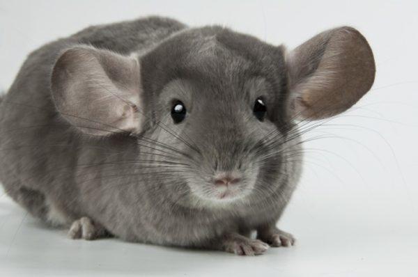 Большие уши позволяют зверьку легко улавливать даже самые тихие звуки