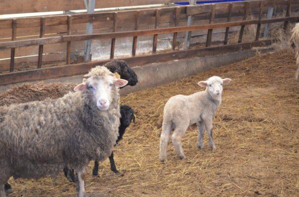 Помещение для овец должно быть удобным, без сквозняков, но с хорошей вентиляцией