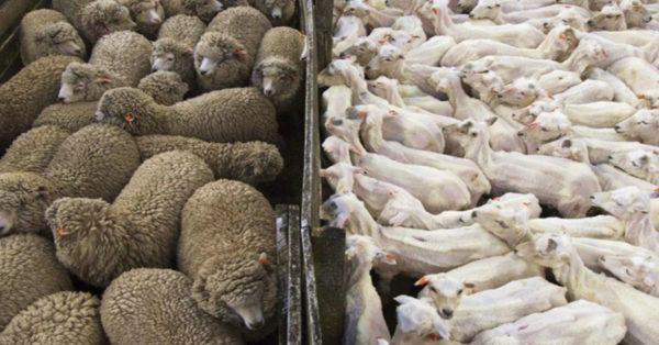 Стрижка овец требует соблюдения методики удаления шерстяного покрова