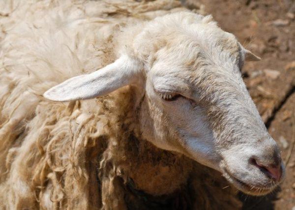 Овцы с длинной густой шерстью подвержены заражению паразитами