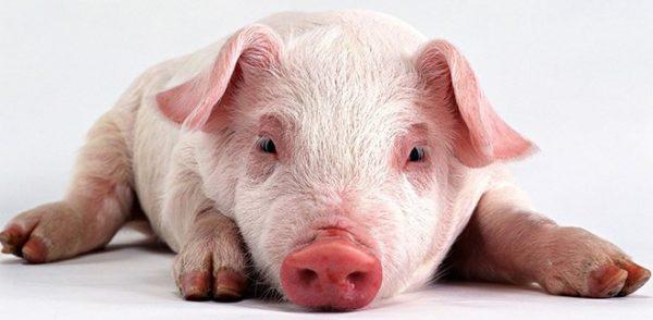 Почему я заболел свиным гриппом если я не свинья thumbnail