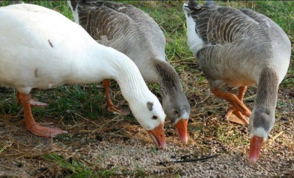 Питание гусей на хозяйстве