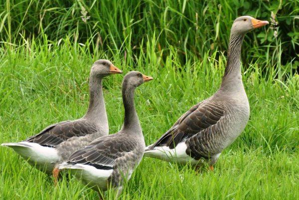Молодые гуси на пастбище