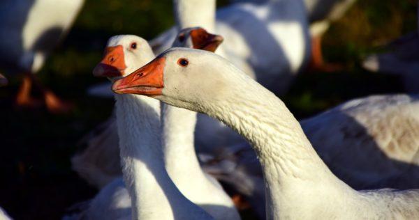 Чем кормить гусей в разное время года, откорм гусей на мясо