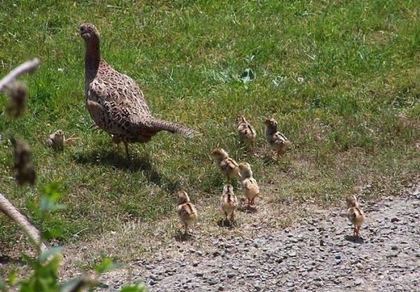 Самка фазана и птенцы