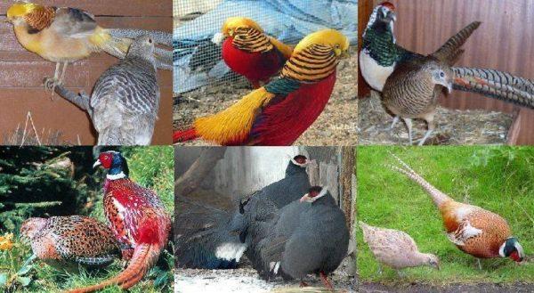 Разные породы фазанов