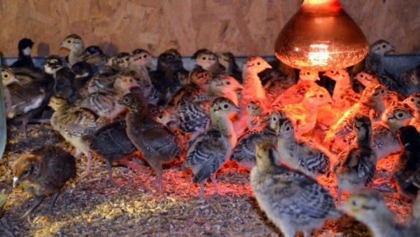 Содержание птенцов фазанов в первые дни жизни