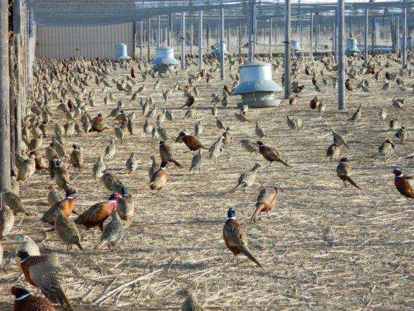 Промышленное разведение фазанов