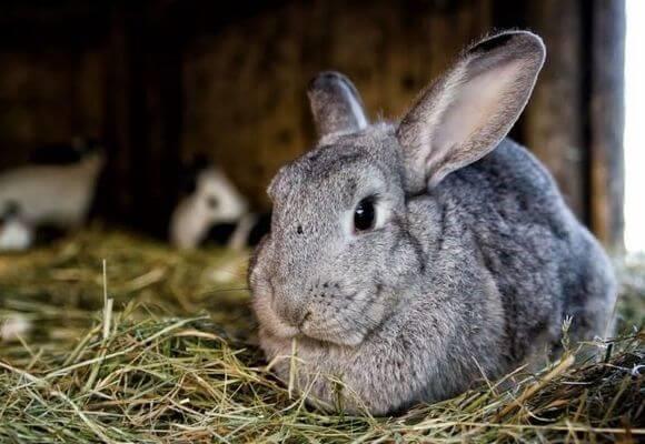 Большую часть жизни крольчихи проводят либо в периоде беременности, либо в охоте