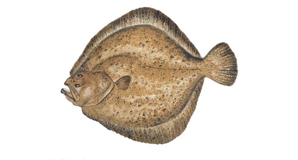 Рекомендуется выбирать только рыбу со светлым окрасом, ведь она отличается лучшими вкусовыми качествами, но и стоит при этом дороже