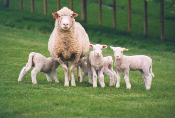 Овцы на выгуле