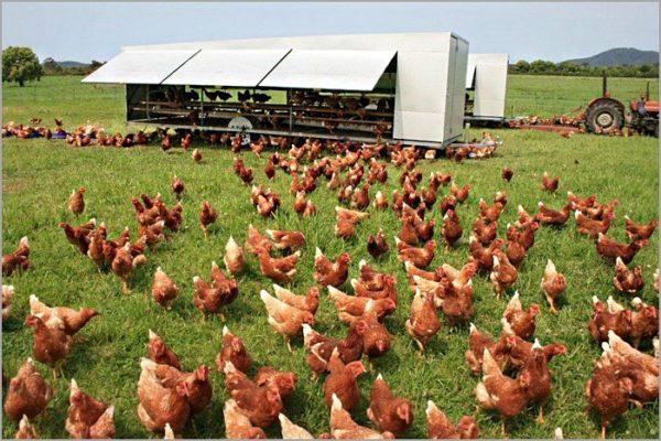 Куриные фермы позволяют при малых вложениях зарабатывать на продаже яиц и мяса
