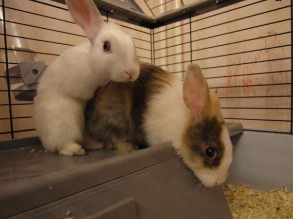 Спаривание декоративных кроликов