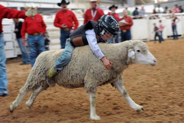 Родео на овцах – это развлечение для детей