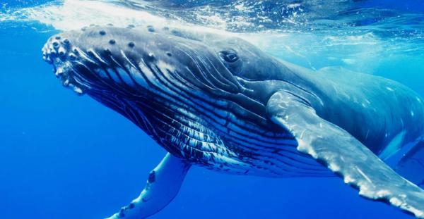 Синий кит с усами