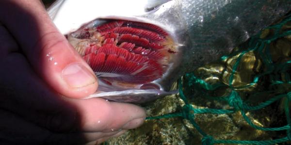 Обратите внимание на запах рыбы – он не должен быть тухлым или резким