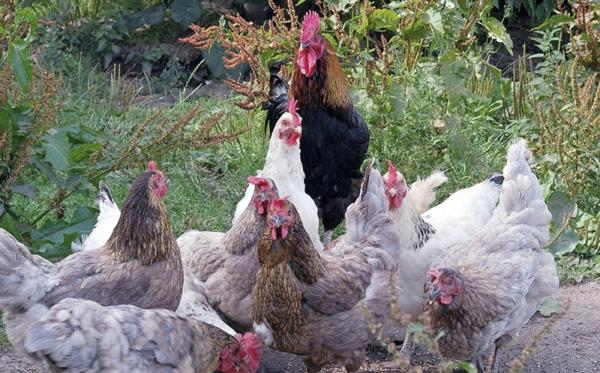 Мясные породы кур отличаются крупным телосложением, но чаще всего дают минимальное количество яиц
