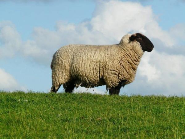 Овца должна быть откормленной, но не слишком толстой