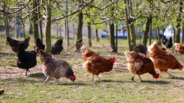 Наилучшим вариантом будет разведение и мясных, и яичных кур одновременно