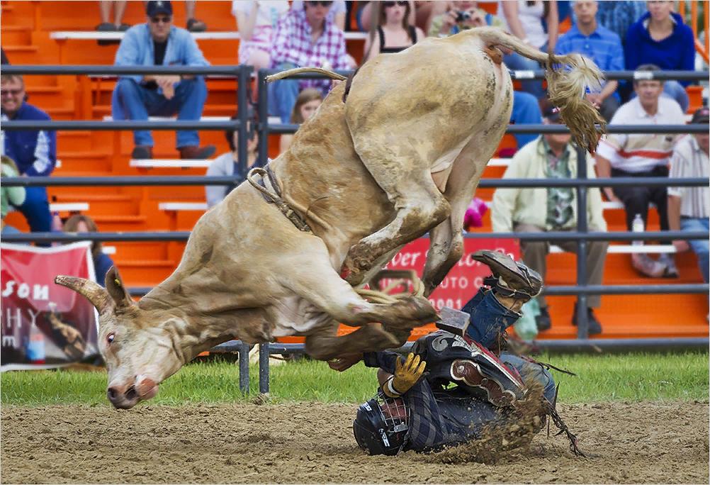 При выборе быка учитывают его породные линии
