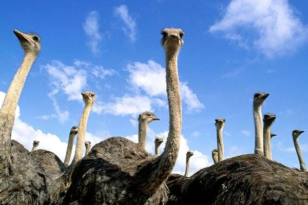 Для страусов требуется теплое помещение - они плохо приспособлены под климат суровых российских зим