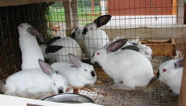 Диетическое мясо кроликов имеет хорошие вкусовые качества