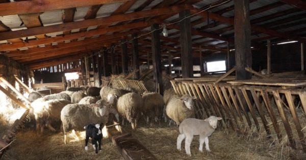Обустройство овчарни