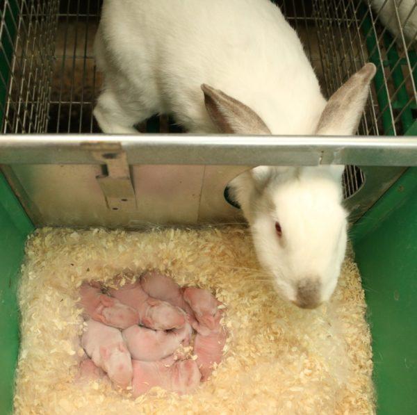 Новорожденные крольчата в маточнике