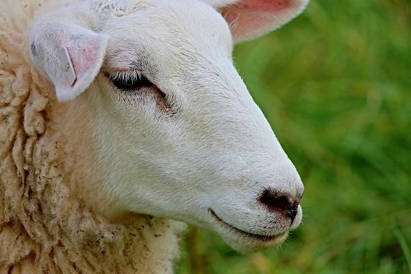 Прежде чем начинать случку, нужно пару недель наблюдать за состоянием животных
