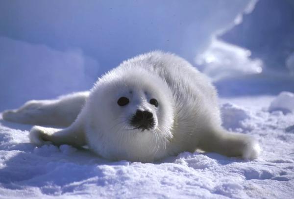 Молодых особей гренландского тюленя отличает белоснежный плотный слой шерсти