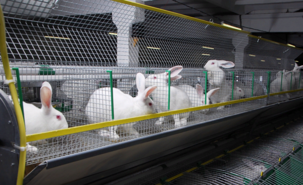 За последние годы разведение кроликов в России набирает популярность