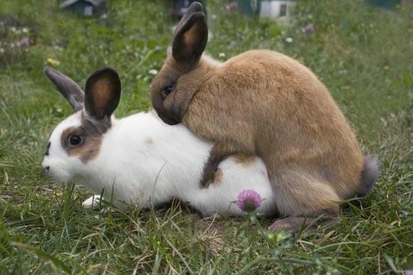 Готовые к случке кролики должны быть активны, упитаны и совершенно здоровы