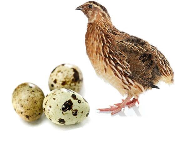 Перепелки отличаются высокой яйценоскостью