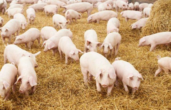 Разведение свиней – популярное фермерское дело в России