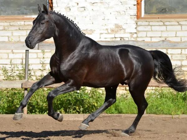 Достояние коневодства – русская верховая