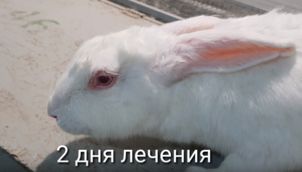 Как вылечить глаз у кролика thumbnail