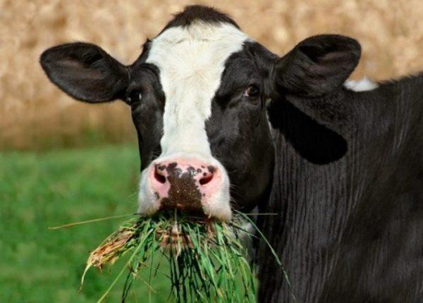 Утверждение, что коровам нужно только трава, неверное