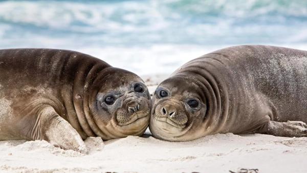 Морские котики часто отдыхают на берегу