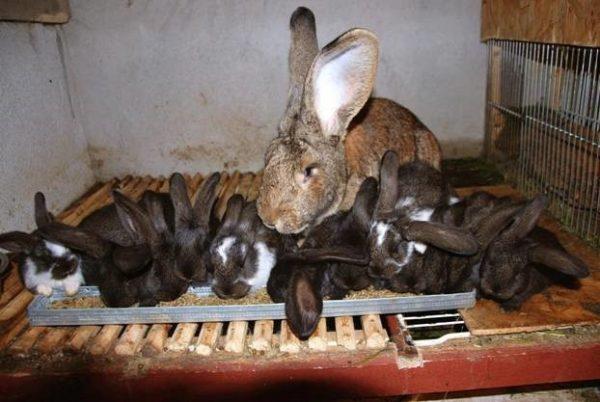 За один раз у самки могут родиться до десяти крольчат