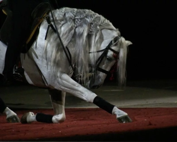 Лошадь выполняет команду «поклон»